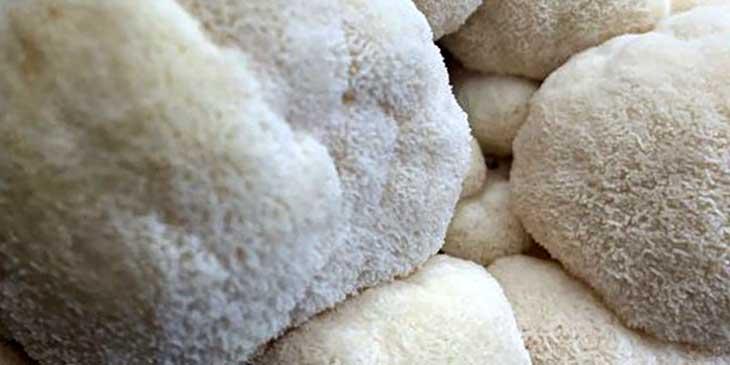 Гриб ежовик гребенчатый — польза для организма