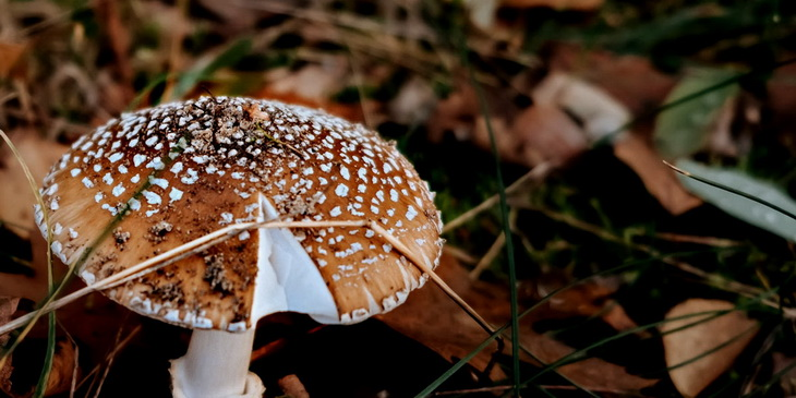 Съедобные мухоморы: виды, где растут